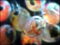 Lobster larvae: Picture National Lobster Hatchery