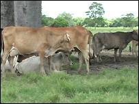 Venezuelan cows