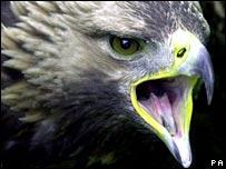 Golden eagle, PA