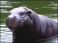 Pygmy hippopotamus (Image: ZSL)