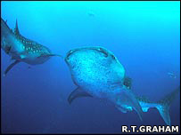 Whale sharks patrol the reef promontory waiting for snappers to spawn [Photo credit: Rachel T Graham]