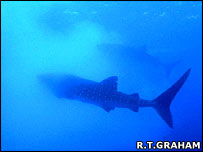 Whale shark enters a cloud of fish eggs in search of food.  Image: Rachel T Graham