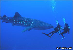 Whale shark face to face with divers   Rachel T. Graham