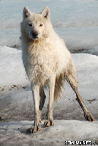 A female wolf, nicknamed Lucy (Image: Jim McNeill)
