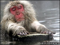 A Japanese macaque, or snow monkey