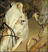 Pig skulls with horns