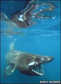 Basking shark (Andy Murns)
