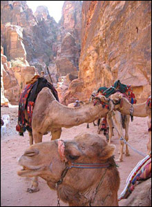 Two camels in the gorge leading to Petra