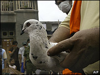 Pigeon in south Jakarta, Indonesia, on 15 January 2007