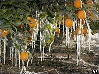 Oranges following a severe freeze