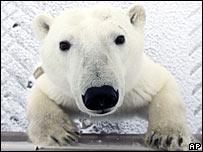 A polar bear in the wild