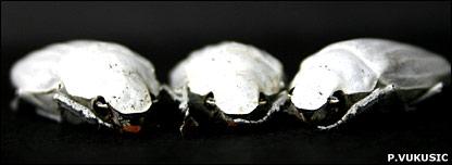 Cyphochilus (Peter Vukusic)