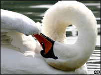 Swan. File pic