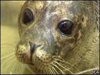 A seal pup which was discovered on land in Lancashire