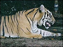 Pawless Sumatran tiger (photo from WWF)