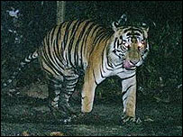 Pawless Sumatran tiger (photo from WWF)