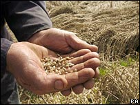 Wheat grains in farmer's hands