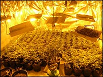 Cannabis - Thames Valley Police