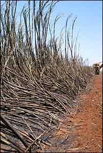 Campos de ca�a de az�car quemados, con una m�quina cosechadora al fondo