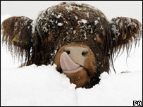 A young Highland cow covered in snow at Carronbridge