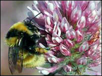 Great yellow. Picture courtesy of Bumblebee Conservation Trust
