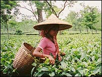 Tea plucker in Assam