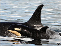 Orca. Picture from the Centre for Whale Research/AP