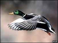 Duck - file photo