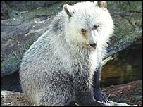 Grizzly bear cub (Pic: Charles J Sharp, Wikipedia)