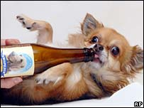Chihuahua drinks Kwispel beer
