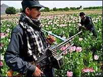 Afghan poppy fields being destroyed by police officers