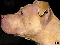 Pitbull-type dog