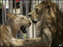 Lions in Gaza Zoo
