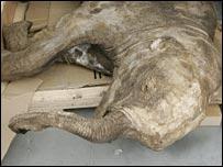 Найденный мамонт выглядит как живой