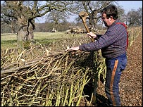 Groundsman laying a hedge in Windsor Great Park