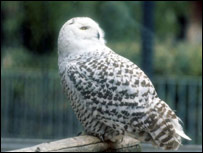 Snowy owl (generic)