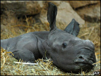Southern white rhinoceros calf in Budapest Zoo