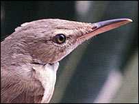 Basra reed warbler  Image: Birdlife International