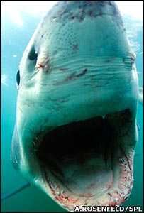 Great white shark (A.Rosenfeld/SPL)