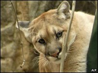 Mountain lion in Queens Zoo, New York