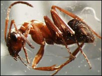 Red-bared ant (Image courtesy of John Paul)