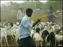 Men herding goats and sheep in Hargeisa
