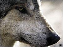 Grey wolf (Image: AP)