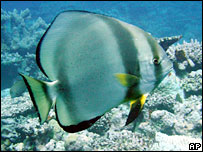 Batfish on Great Barrier Reef