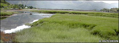 Saltmarsh sedge (K.Hutcheon)