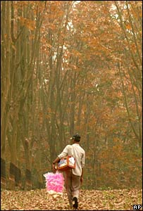 A man walks through a rubber tree plantation in India
