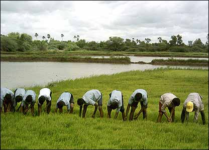 Schoolchildren weeding the rice