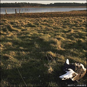 Dead gull at Halesworth near Holton