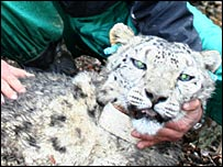Bayed (Snow Leopard Trust)