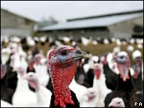 Turkeys on a farm